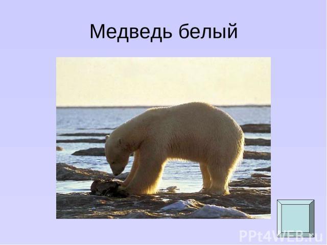 Медведь белый