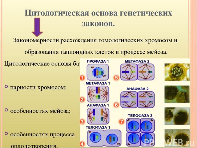 Цитологическая основа генетических законов. Закономерности расхождения гомологических хромосом и образования гаплоидных клеток в процессе мейоза. Цитологические основы базируются на: парности хромосом; особенностях мейоза; особенностях процесса опло…