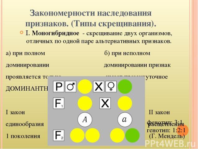 Закономерности наследования признаков. (Типы скрещивания). I. Моногибридное - скрещивание двух организмов, отличных по одной паре альтернативных признаков. а) при полном б) при неполном доминировании доминировании признак проявляется только имеет пр…