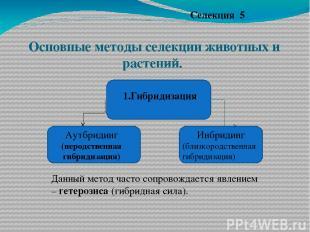 Основные методы селекции животных и растений. Селекция 5 1.Гибридизация Инбридин