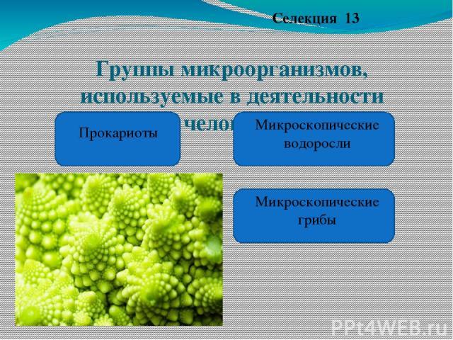 Группы микроорганизмов, используемые в деятельности человека. Селекция 13 Прокариоты Микроскопические водоросли Микроскопические грибы https://www.google.ru/&