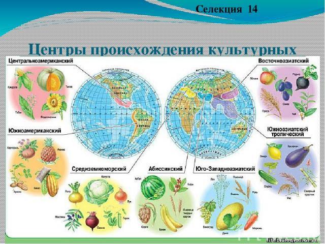 Центры происхождения культурных растений (по Н.И. Вавилову) Селекция 14