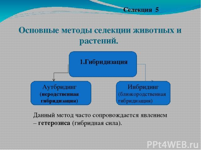 Основные методы селекции животных и растений. Селекция 5 1.Гибридизация Инбридинг (близкородственная гибридизация) Аутбридинг (неродственная гибридизация) Данный метод часто сопровождается явлением – гетерозиса (гибридная сила).