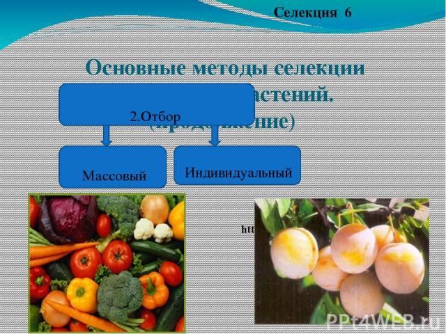 Основные методы селекции животных и растений.(продолжение) Селекция 6 2.Отбор https://www.google.ru/ Индивидуальный Массовый https://www.google.ru/url