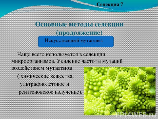 Основные методы селекции (продолжение) Чаще всего используется в селекции микроорганизмов. Усиление частоты мутаций воздействием мутагенов ( химические вещества, ультрафиолетовое и рентгеновское излучение). Селекция 7 Искусственный мутагенез