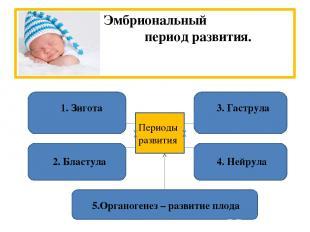 Эмбриональный период развития. 1. Зигота 2. Бластула 3. Гаструла 4. Нейрула 5.Ор