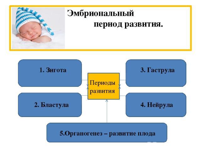 Эмбриональный период развития. 1. Зигота 2. Бластула 3. Гаструла 4. Нейрула 5.Органогенез – развитие плода Периоды развития