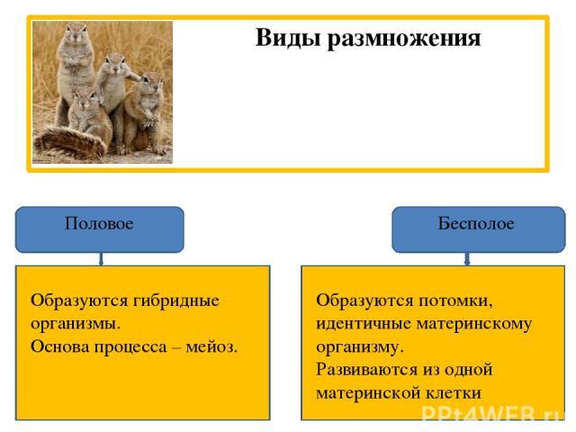 Виды размножения Половое Бесполое Образуются потомки, идентичные материнскому организму. Развиваются из одной материнской клетки Образуются гибридные организмы. Основа процесса – мейоз.
