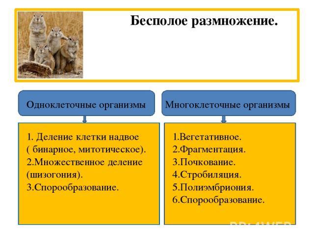 Бесполое размножение. Одноклеточные организмы Многоклеточные организмы 1. Деление клетки надвое ( бинарное, митотическое). 2.Множественное деление (шизогония). 3.Спорообразование. 1.Вегетативное. 2.Фрагментация. 3.Почкование. 4.Стробиляция. 5.Полиэм…