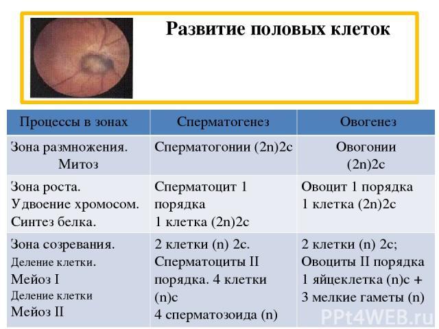 Развитие половых клеток Процессы в зонах Сперматогенез Овогенез Зона размножения. Митоз Сперматогонии(2n)2с Овогонии (2n)2с Зона роста. Удвоение хромосом. Синтез белка. Сперматоцит1 порядка 1 клетка (2n)2с Овоцит1 порядка 1 клетка (2n)2с Зонасозрева…