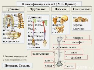 1 Строение и состав костей Трубчатые Плоские Губчатые Классификация костей ( М.Г