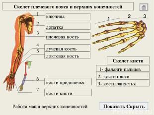 Тазовый пояс и скелет нижних конечностей Показать Скрыть 1 2 3 Скелет стопы 1- к