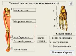 Использованные источники: М.Г. Привес «Анатомия человека», Москва, Медицина, 198