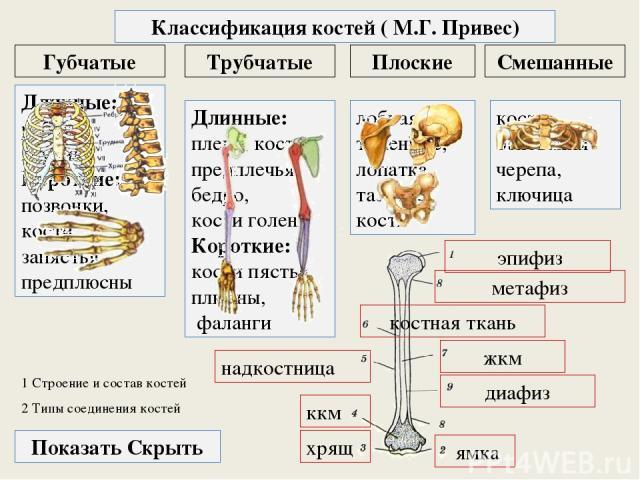 1 Строение и состав костей Трубчатые Плоские Губчатые Классификация костей ( М.Г. Привес) Смешанные Длинные: плечо, кости предплечья, бедро, кости голени Короткие: кости пястья, плюсны, фаланги Длинные: рёбра, грудина Короткие: позвонки, кости запяс…