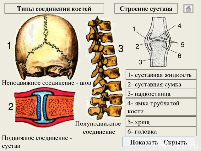 затылочная кость затылочное отверстие пирамидный отросток клиновидная кость чешуя лобной кости решетчатая кость нижняя челюсть скуловая непарная затылочная парная височная глазница парная теменная непарная лобная 2 1 3 8 4 5 6 7 2 3 1 4 4 6 5 Кости …
