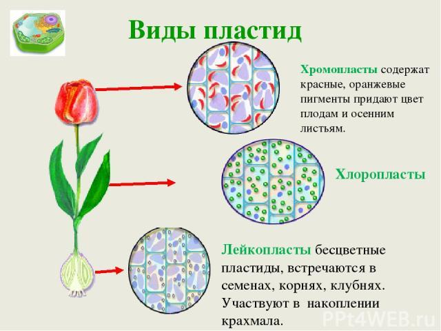 Виды пластид Лейкопласты бесцветные пластиды, встречаются в семенах, корнях, клубнях. Участвуют в накоплении крахмала. Хлоропласты Хромопласты содержат красные, оранжевые пигменты придают цвет плодам и осенним листьям.