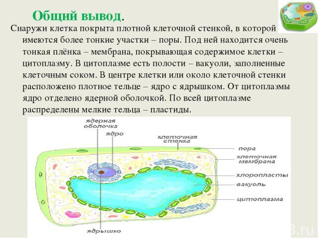 Общий вывод. Снаружи клетка покрыта плотной клеточной стенкой, в которой имеются более тонкие участки – поры. Под ней находится очень тонкая плёнка – мембрана, покрывающая содержимое клетки – цитоплазму. В цитоплазме есть полости – вакуоли, заполнен…