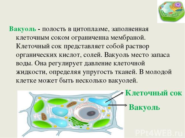 Вакуоль - полость в цитоплазме, заполненная клеточным соком ограниченна мембраной. Клеточный сок представляет собой раствор органических кислот, солей. Вакуоль место запаса воды. Она регулирует давление клеточной жидкости, определяя упругость тканей…