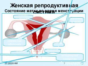 Женская репродуктивная система Состояние матки во время менструации стенка матки