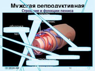 Мужская репродуктивная система яички покой эрекция пещеристые тела пещеристые те
