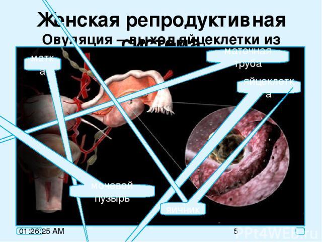 Женская репродуктивная система Овуляция – выход яйцеклетки из яичника маточная труба яйцеклетка яичник матка мочевой пузырь
