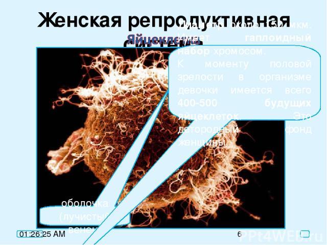 Женская репродуктивная система оболочка (лучистый венец) Диаметр около 150 мкм. Имеет гаплоидный набор хромосом. К моменту половой зрелости в организме девочки имеется всего 400-500 будущих яйцеклеток. Это детородный фонд женщины.