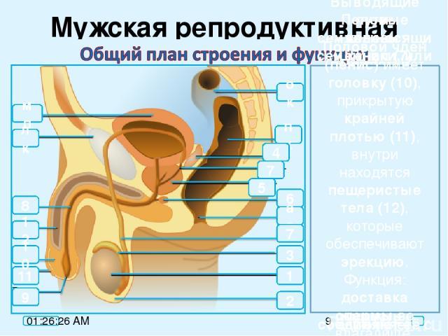 Мужская репродуктивная система Половые железы: семенники, или яички, (1) образуют половые клетки сперматозоиды и синтезируют мужские половые гормоны андрогены. Расположены в кожистом мешочке мошонке (2), которая выполняет защитную функцию. 2 5 6 ао …