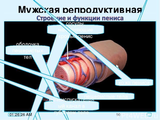 Мужская репродуктивная система яички покой эрекция пещеристые тела пещеристые тела, заполненные кровью сосуды, наполняющие кровью пенис оболочка пещеристых тел мочеиспускательный канал в губчатом теле пещеристые тела кожа пениса