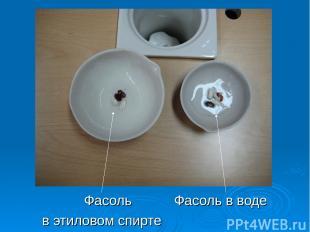 Фасоль Фасоль в воде в этиловом спирте