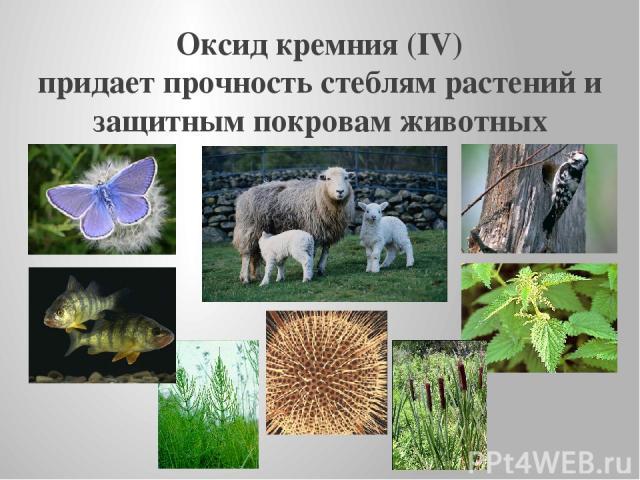 Оксид кремния (IV) придает прочность стеблям растений и защитным покровам животных