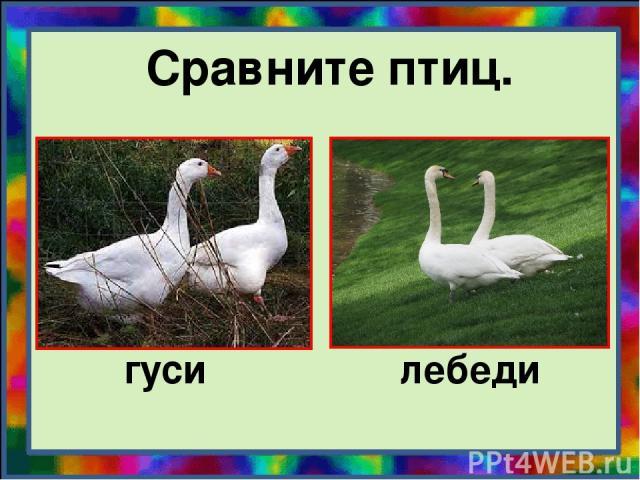 Сравните птиц. гуси лебеди