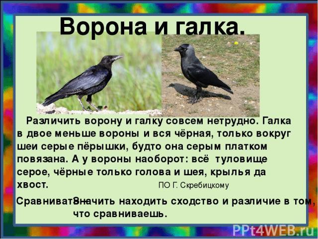 Ворона и галка. Различить ворону и галку совсем нетрудно. Галка в двое меньше вороны и вся чёрная, только вокруг шеи серые пёрышки, будто она серым платком повязана. А у вороны наоборот: всё туловище серое, чёрные только голова и шея, крылья да хвос…