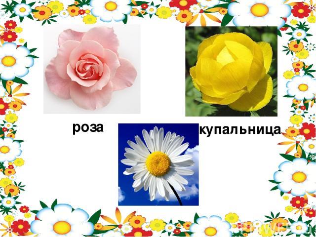 роза купальница