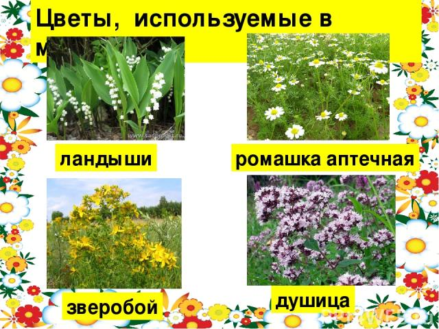 Цветы, используемые в медицине. ландыши ромашка аптечная зверобой душица