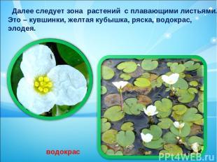 Далее следует зона растений с плавающими листьями. Это – кувшинки, желтая кубышк