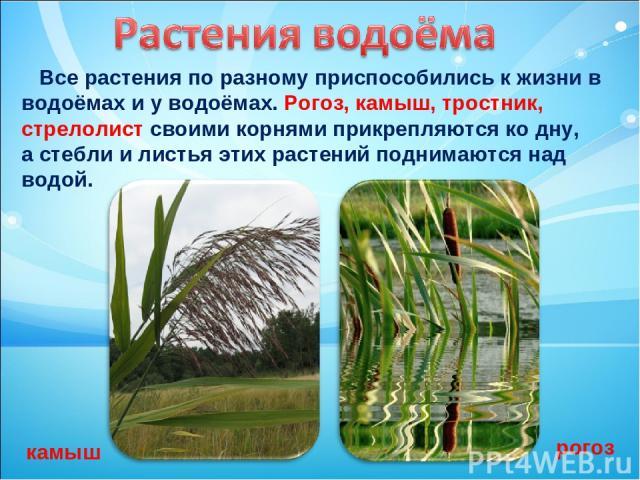 Все растения по разному приспособились к жизни в водоёмах и у водоёмах. Рогоз, камыш, тростник, стрелолист своими корнями прикрепляются ко дну, а стебли и листья этих растений поднимаются над водой. камыш рогоз