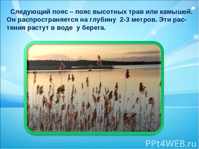 Следующий пояс – пояс высотных трав или камышей. Он распространяется на глубину 2-3 метров. Эти рас- тения растут в воде у берега.