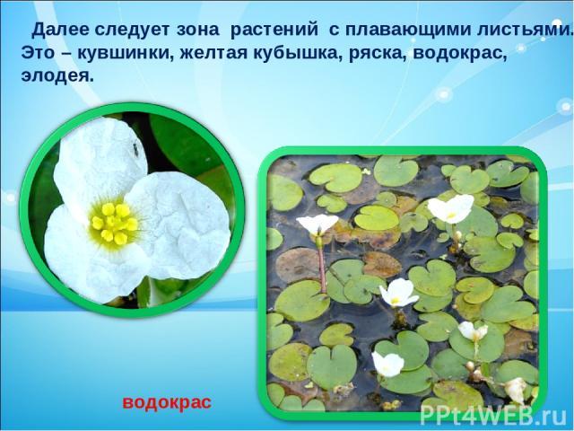 Далее следует зона растений с плавающими листьями. Это – кувшинки, желтая кубышка, ряска, водокрас, элодея. водокрас