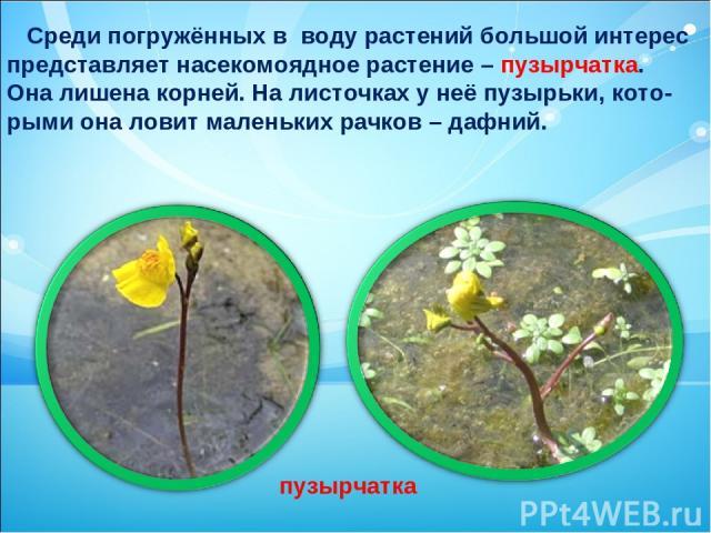 Среди погружённых в воду растений большой интерес представляет насекомоядное растение – пузырчатка. Она лишена корней. На листочках у неё пузырьки, кото- рыми она ловит маленьких рачков – дафний. пузырчатка