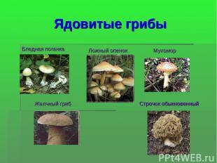 Ядовитые грибы Бледная поганка Ложный опенок Мухомор Желчный гриб Строчок обыкно