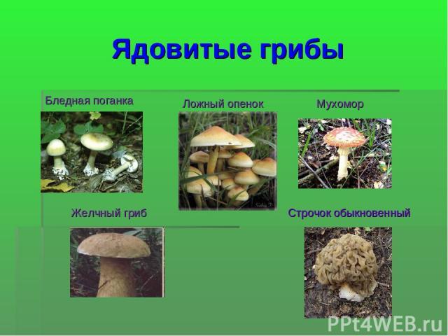 Ядовитые грибы Бледная поганка Ложный опенок Мухомор Желчный гриб Строчок обыкновенный