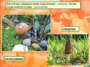 Весной мы собираем грибы подснежники – сморчки. Летом, когда колосится рожь - ко