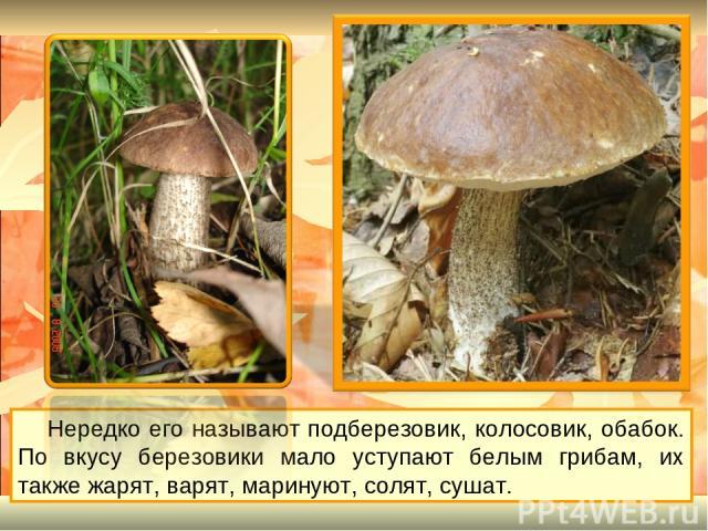 Нередко его называют подберезовик, колосовик, обабок. По вкусу березовики мало уступают белым грибам, их также жарят, варят, маринуют, солят, сушат.