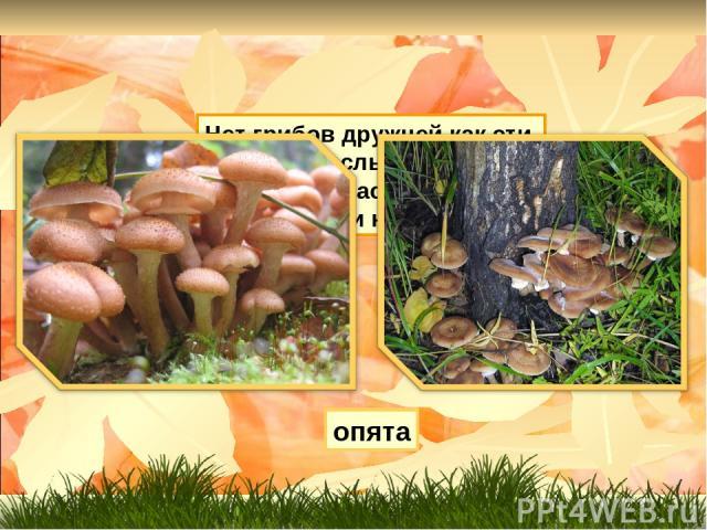 Нет грибов дружней как эти, Знают взрослые и дети. На пеньках растут в лесу, Как веснушки на носу. опята