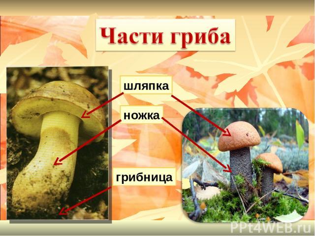 шляпка ножка грибница