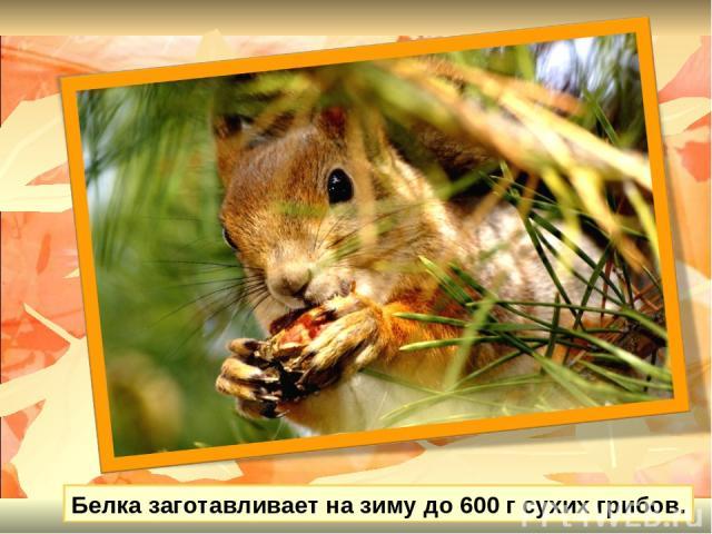 Белка заготавливает на зиму до 600 г сухих грибов.