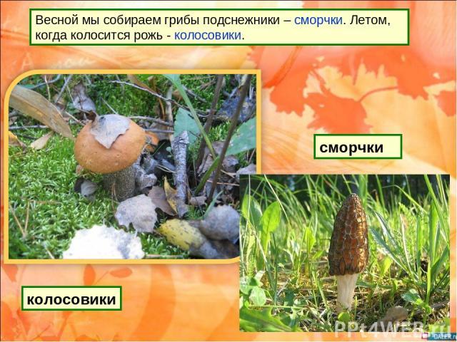 Весной мы собираем грибы подснежники – сморчки. Летом, когда колосится рожь - колосовики. сморчки колосовики
