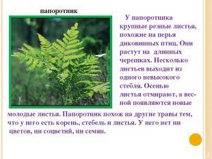 папоротник У папоротника крупные резные листья, похожие на перья диковинных птиц