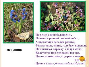 медуница Не успел сойти белый снег, Появился ранний смелый побег, А цветочки у н