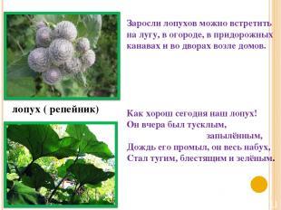 лопух ( репейник) Заросли лопухов можно встретить на лугу, в огороде, в придорож